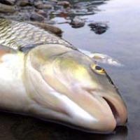 Как рыбная мафия казну потрошила