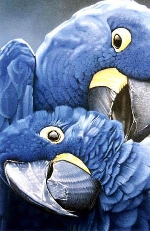 golubie popugai